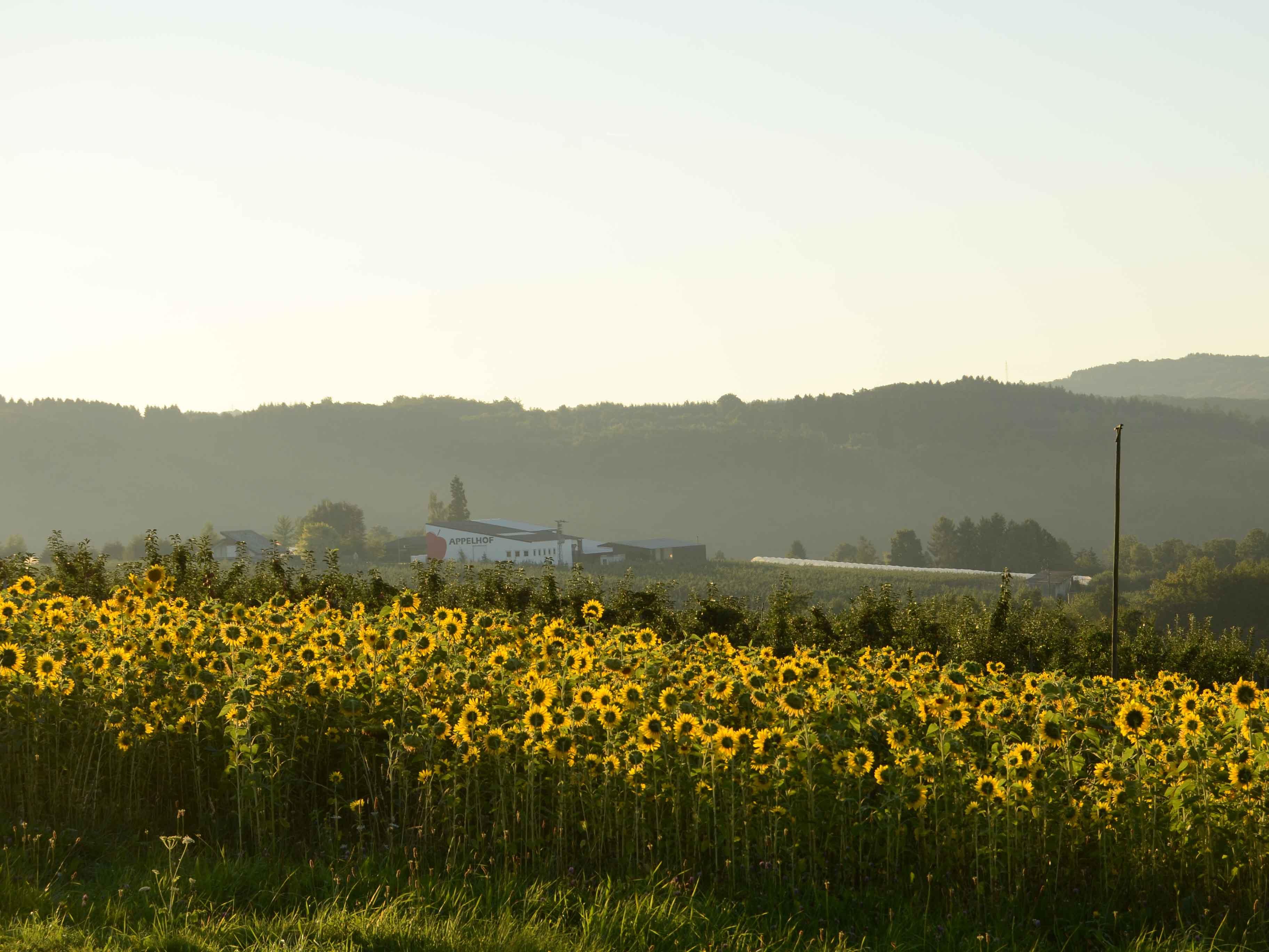 Sonnenblumen vom Appelhof