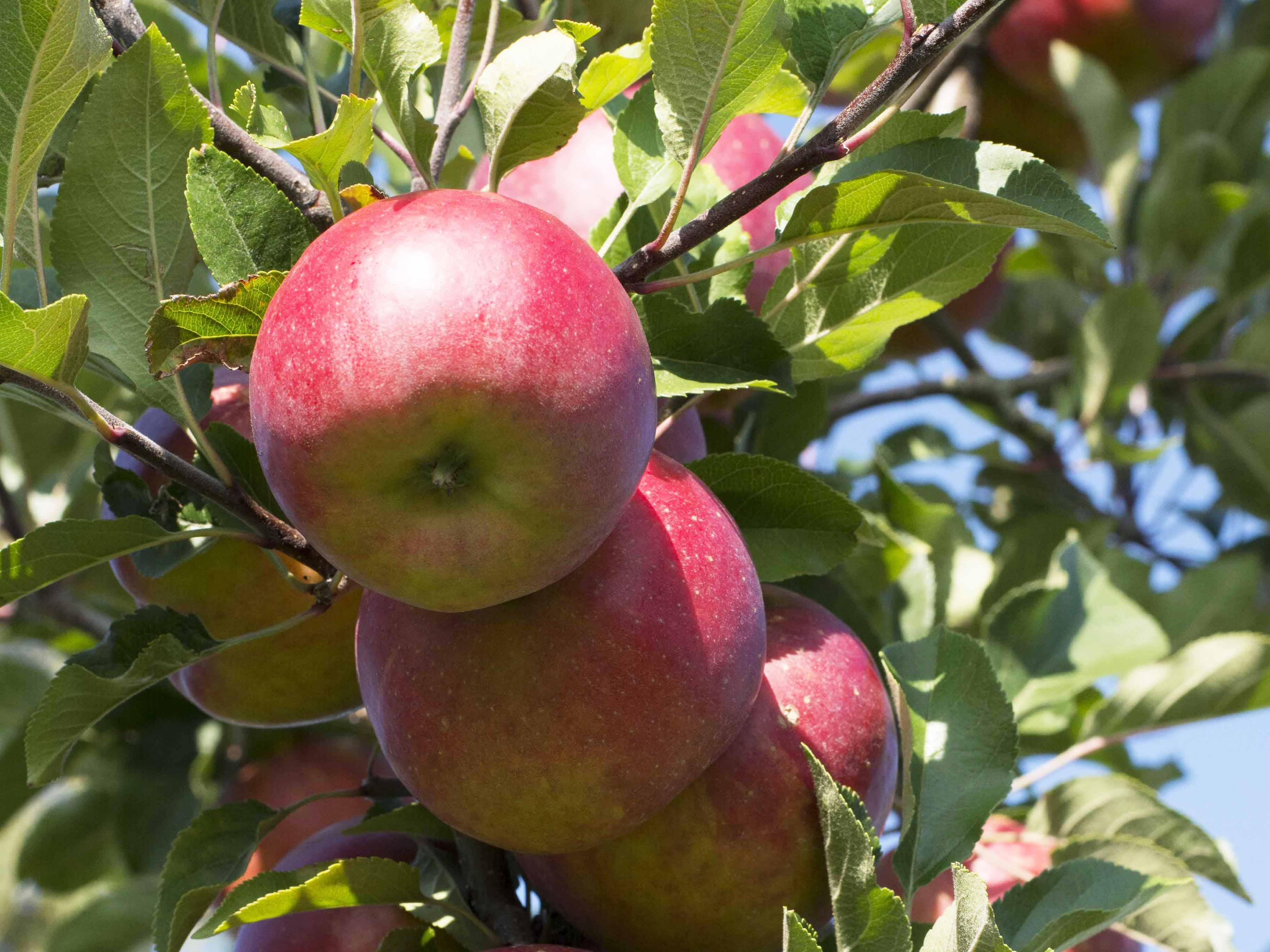 Appelhof I Apfelbaum I Äpfel