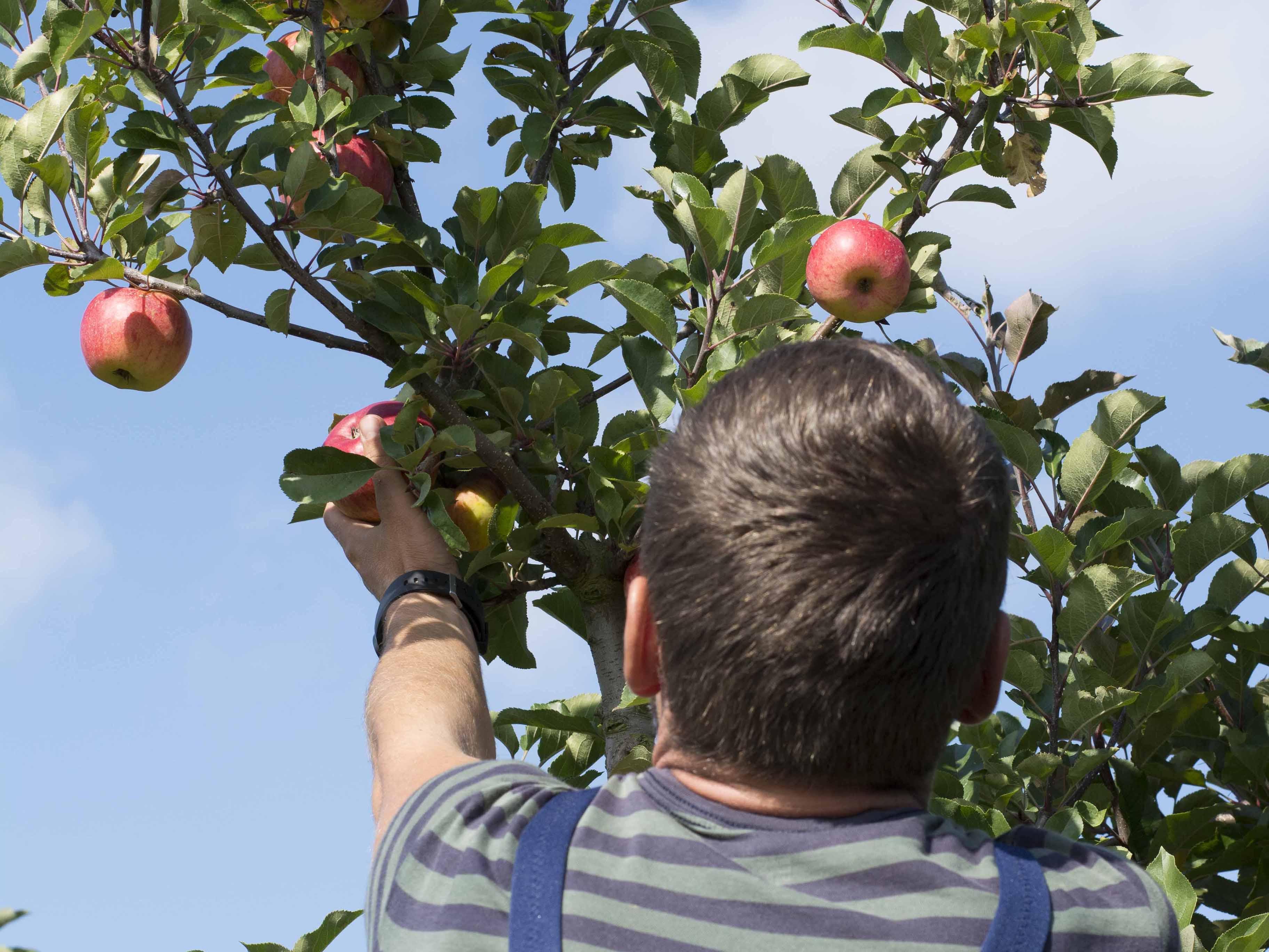 Apfelernte auf dem Appelhof