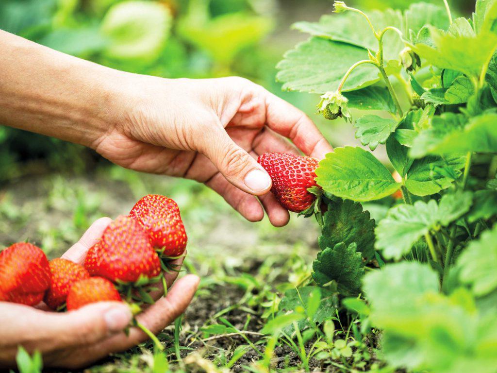 Apppelhof | Erdbeere | Erbeerpfücker | Erdbeerstrauch