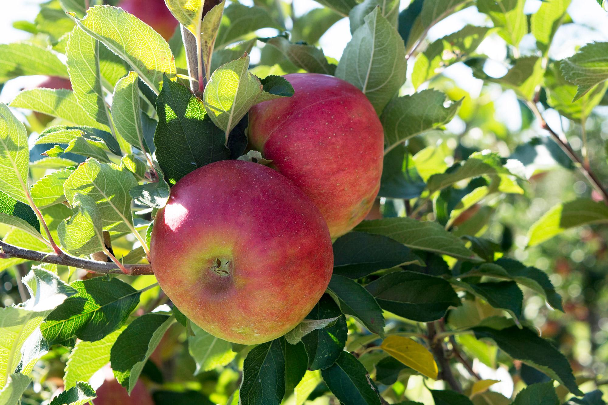 Apfelbaum vom Appelhof