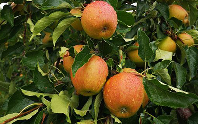 Neue Ernte: Äpfel