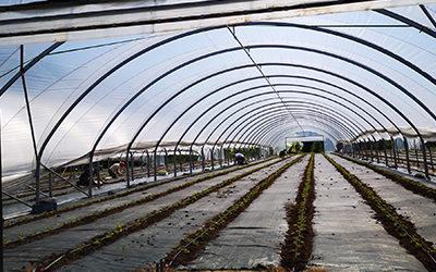 Erbeeren für die nächste Ernte