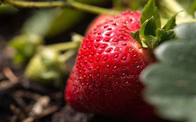 NEUE ERNTE!!! – Erdbeeren & Spargel
